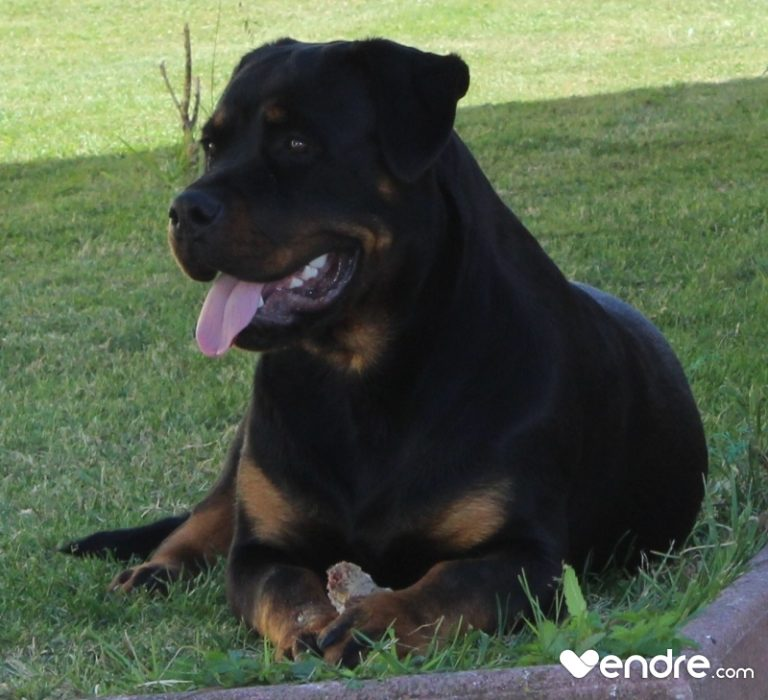 Rottweiler a vendre