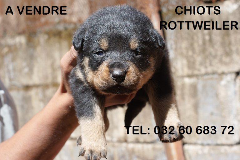 Rottweiler a donner