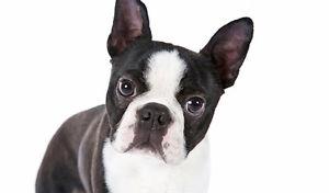 Boston terrier a donner