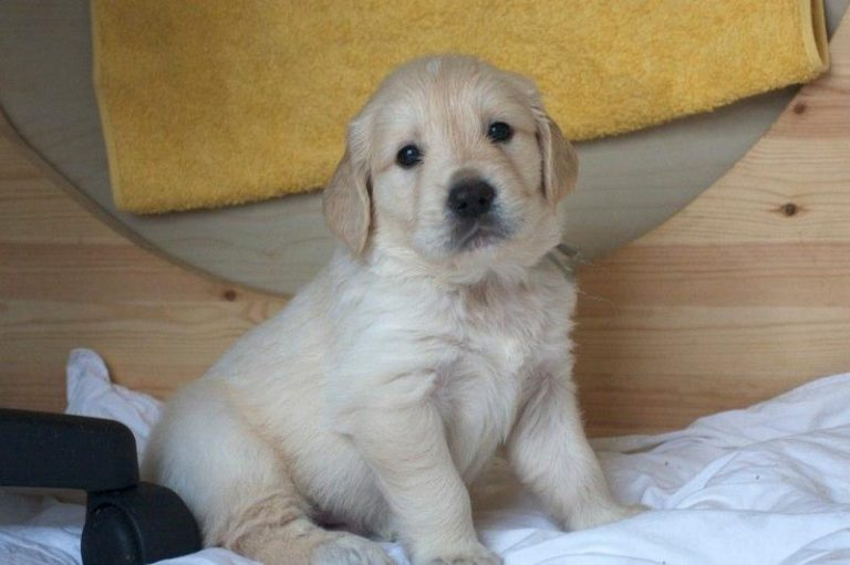 Chiot petite taille