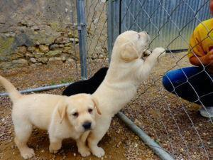 Labrador a vendre