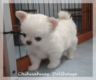 Chiot chihuahua a donner