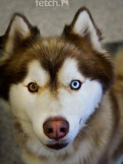 Adoption husky