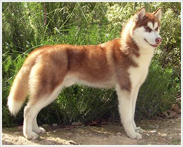 Husky marron