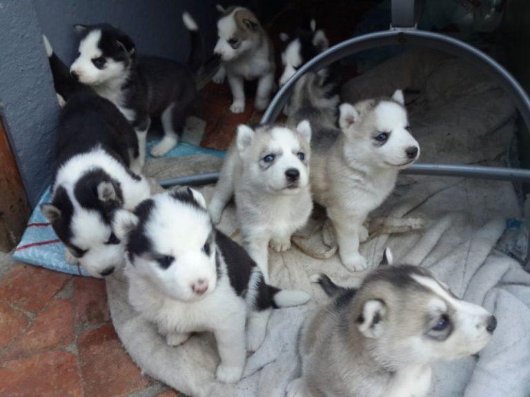 Bébé husky a vendre