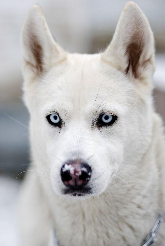 Husky blanc
