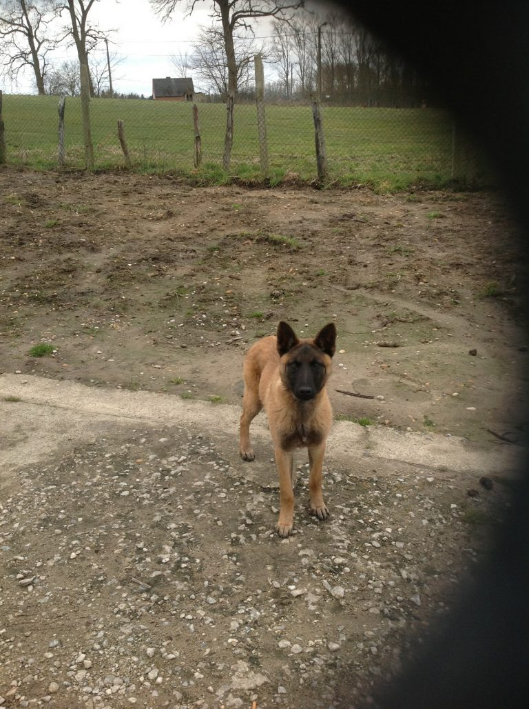 Malinois a donner