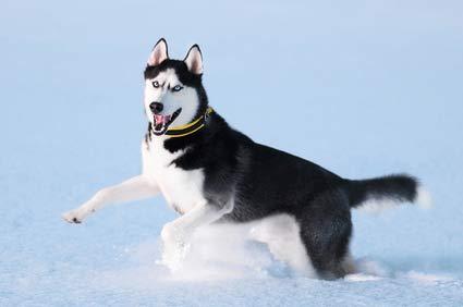 Husky de sibérie prix