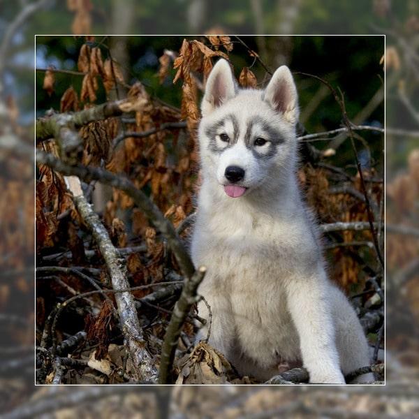 Prix chien husky