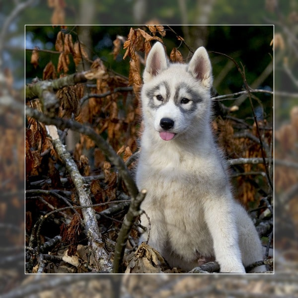 Husky siberien elevage