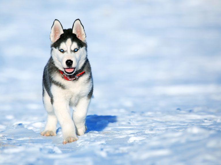Chiot husky siberien