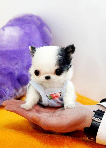 Mini chihuahua a donner