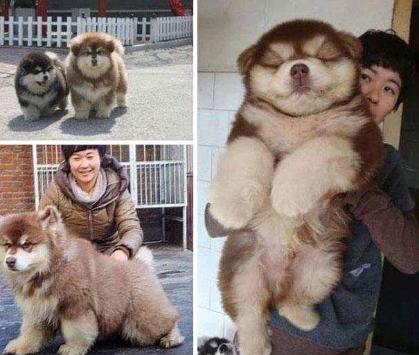 Pomeranian husky a vendre