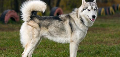Chien type husky