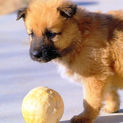 Chiot donner