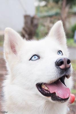 Husky petit