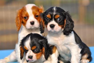 Cavalier king charles a donner