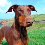 Maladies communes chez les chiens Doberman