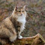 Différences entre le chat des forêts norvégiennes et le Maine Coon