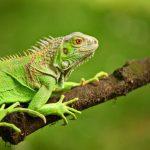 Que mangent les iguanes verts?