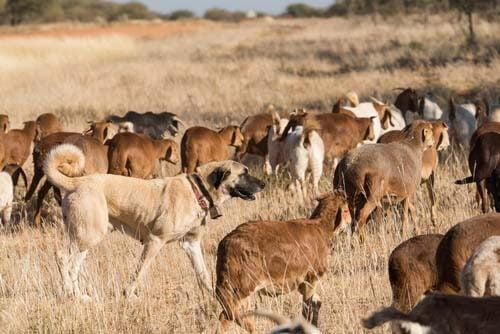 Le secteur de l'élevage en crise