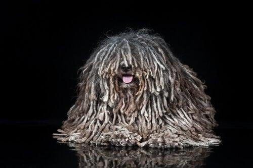 Comment se forment les dreadlocks chez le chien?
