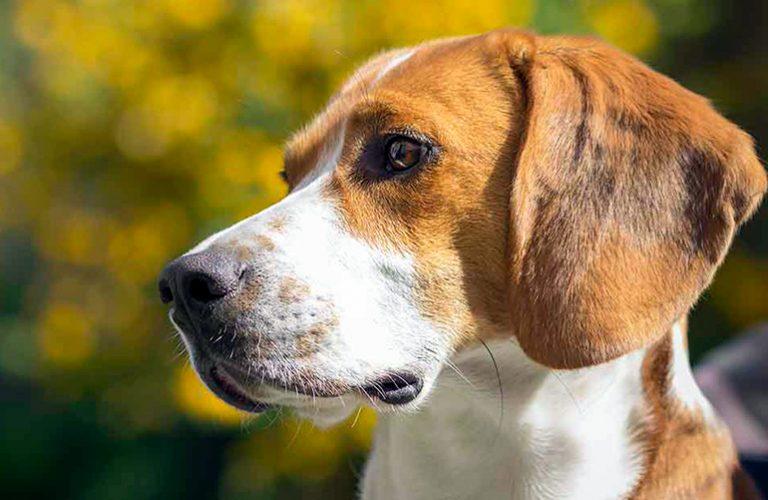 Caractéristiques de la race américaine Foxhound