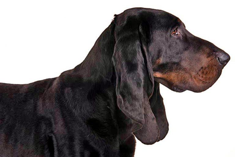 Comment se porte un coonhound noir et beige? Caractéristiques et soins