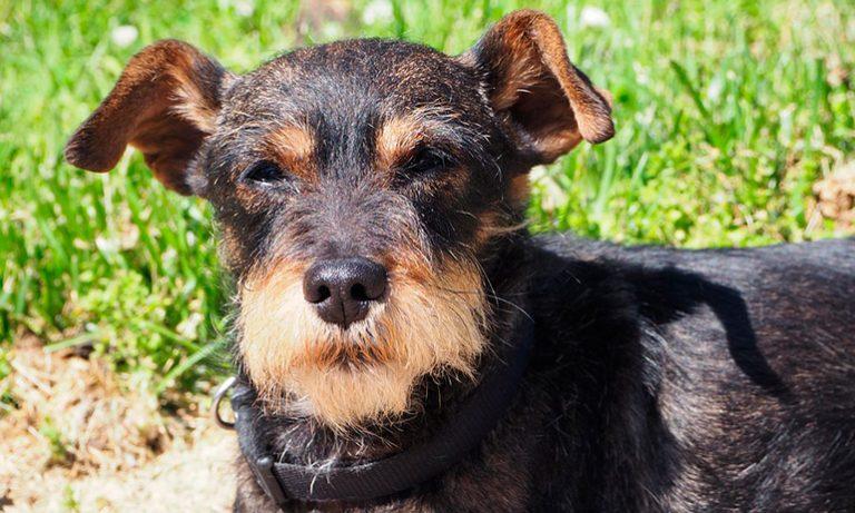 Coagulopathies canines – maladie de von Willebrand