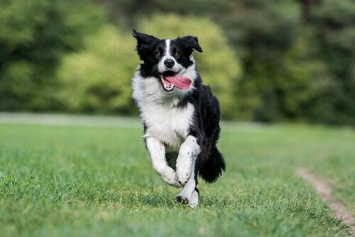 6 races de chiens en meilleure santé