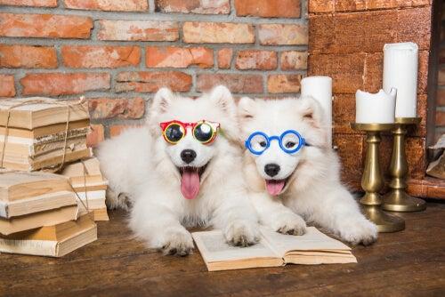 Les races de chien les plus intelligentes
