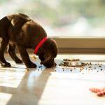 Pourquoi les chiens obsédés par la nourriture?