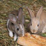 Les lapins peuvent-ils manger du pain?