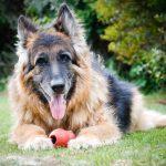 La recherche nous dit comment les chiens vieillissent