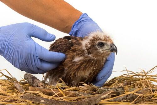 Les bandages les plus utiles de la clinique pour oiseaux
