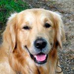 Syndrome de Horner chez le chien