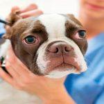 Otohématome chez le chien Une intervention chirurgicale est-elle nécessaire?