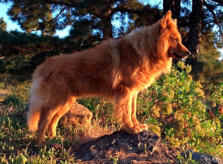 Comment est un chien de berger garafian? Caractéristiques et soins