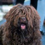 A quoi ressemble un chien Barbet? Tout sur la course