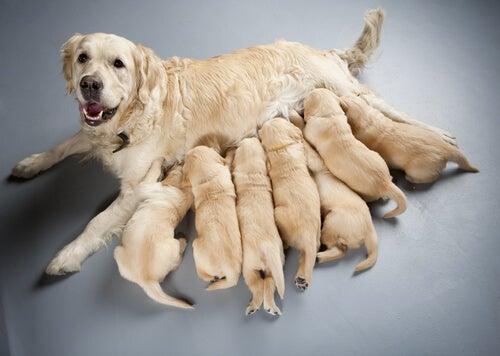 Stériliser un chien: le pour et le contre selon les experts