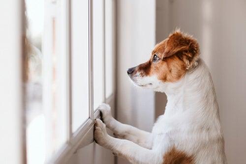 Quelles sont les races de chiens les plus indépendantes?