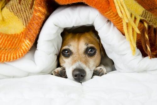 Connaître la température la plus agréable pour les chiens