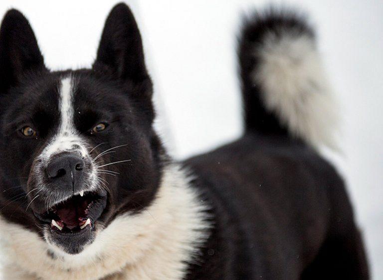 Tout sur la race de chiens Karelian Bears (Karjalankarhukoira)