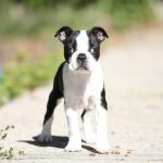 Strabisme chez le chien: causes et traitements