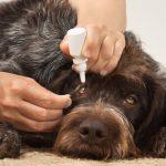 Infections oculaires chez le chien