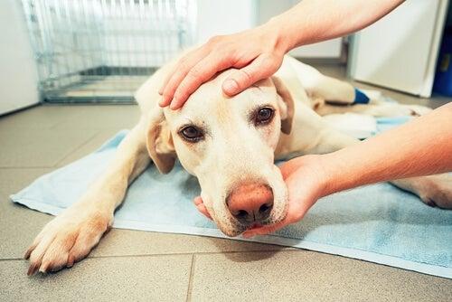 Hémangiosarcome chez le chien: symptômes et traitements