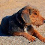 Qu'est-ce que la bartonellose canine? Symptômes, contagion et traitement