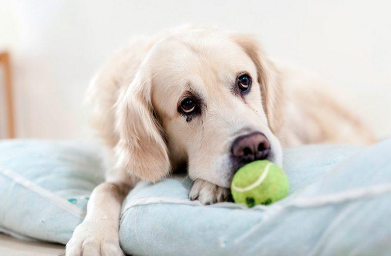 Comment éviter l'obsession de la balle chez mon chien?