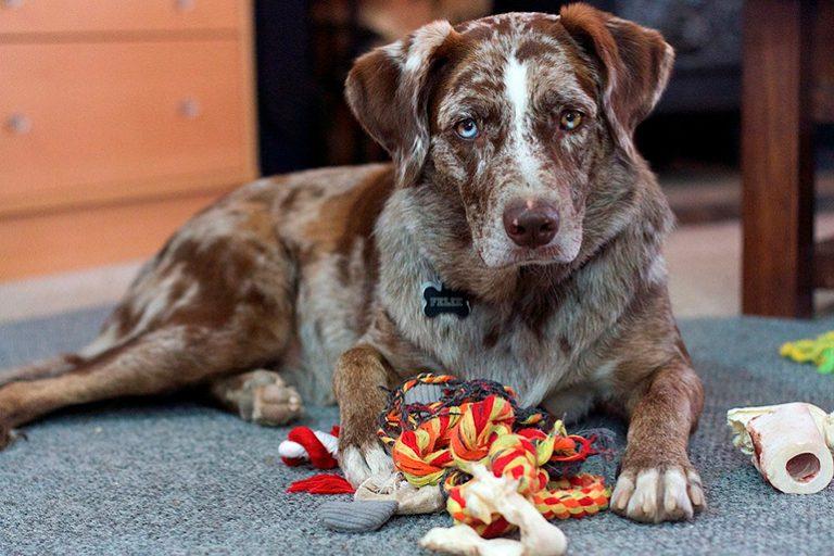 Symptômes et dangers d'une occlusion intestinale chez le chien