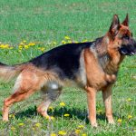 Types de berger allemand et leurs caractéristiques